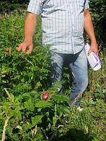 Шиповник для живой изгороди, фото 1