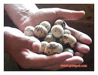 Перепелиные яйца в розницу