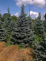 Ель голубая (Picea pungens glauca) 3.00 м