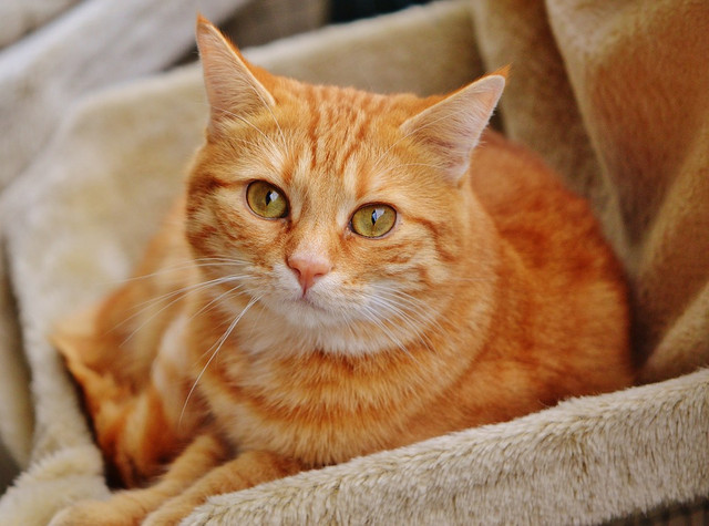 Фурминатор для кошек Ferplast GRO 5771/2 Premium