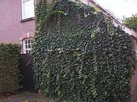 Плющ вечнозеленый вьющийся кустарник, фото 1