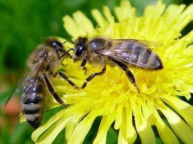 Вода для бджіл. Вороги та шкідники бджіл.