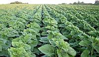 Семена подсолнечника НС Сумо 2017 (устойчив к гербициду Экспресс)