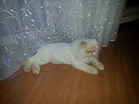 Стрижка котов без наркоза на дому и в салоне
