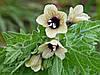 БЕЛЕНА ЧЕРНАЯ (Hyoscyamus niger)