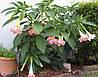 БРУГМАНСИЯ ДУШИСТАЯ (Brugmansia suaveolens)