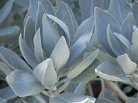 БЕЛЫЙ ШАЛФЕЙ (Salvia apiana)