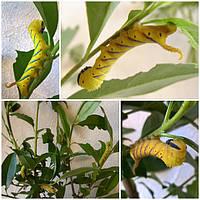 Наша ферма бабочек - Acherontia atropos