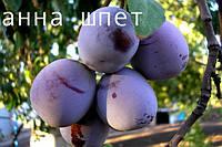 Саженцы плодовых деревьев сливы Анна Шпет