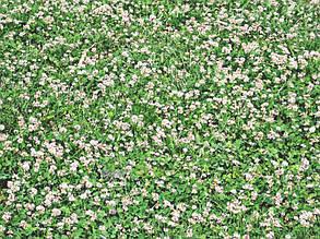 Рулонный газон с белым клевером