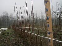 Стрижка и обрезка бирючины для создания плотной живой изгороди и забора.
