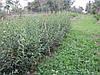 Пособиэ по стрижке и обрезке бирючины для создания плотной живой изгороди и забора