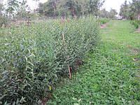 Пособиэ по стрижке и обрезке бирючины для создания плотной живой изгороди и забора, фото 1