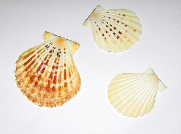 Черепашки Гребінець 5-8 см, 3 шт.