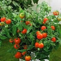 Пакетированные Семена Томата  Ляна  на вес от производителя