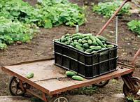 Пакетированные Весовые семена  Огурца   Конкурент