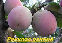 Саженцы,саженец плодовых деревьев слива,сливы Ренклод ранний