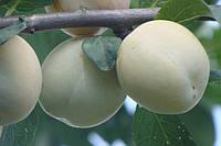 Саженцы плодовых деревьев Слива. сливы  Медовка