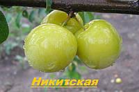 Саженцы плодовых деревьев, Алыча Никитская