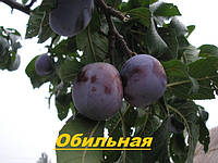 Саженцы плодовых деревьев Алыча, Алычи Обильная