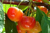 Саженцы плодовых ягодных деревьев черешни, приусадебноя, от производителя мой сад