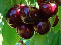 Саженцы плодовых ягодных деревьев черешни, Валерий Чкалов, от производителя мой сад