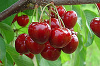 Саженцы плодовых ягодных деревьев черешни, Ярославна, от производителя мой сад