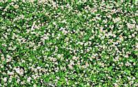 Семена клевера ползучего белого  20 граммов SeedEra