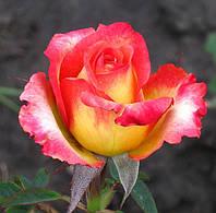 Фото розы «Утопия.»