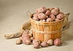 Обработка картофеля перед закладкой на хранение