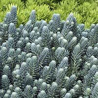 Очиток Скальный Blue Spruce (Голубая Ель) (Sedum Reflexum),