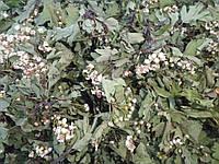 Боярышник цвет сушеный фасовка от 100 грамм
