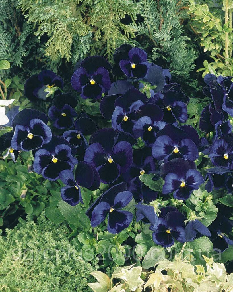 как посадить виола виттрока из семян