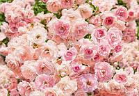 Фотообои KOMAR 8-937 Rosa, фото 1