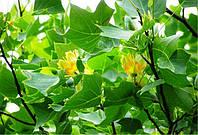 Экскурсия к тюльпановому дереву в Ворзеле