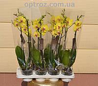 Орхидея фаленопсис оптом и в розницу сортовая желтого цвета 2 цветоноса