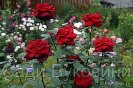 Розы разных сортов с цветами
