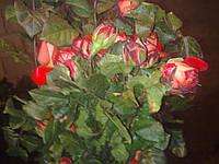 Саженцы роз в ассортименте, фото 1