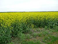 Цветет рапс, обработанный Микро-Минералис (бор) 1,5 л/га, Веселовский р-н, Запорожская обл