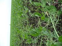 Изреженный посев гороха. 20% семян лежит на поверхности поля. Причина - неправильный выбор сеялки.