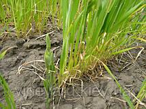 Проростки КИРКАЗОНА (аристолохия, филейник, финовник) в поле ячменя яровиго. Очаг диаметром 6 м характеризуется сильным иссушением почвы и деградацией растений ячменя даже при слабом развитии надземной массы сорняка. Корневища содержат алкалоид.