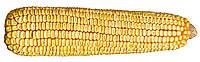 Вензель (ФАО 280). Зерновой гибрид для Запорожской области