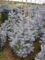 Ель колючая Хупси  (Picea pungens Hoopsii) высота 220