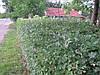 Боярышник обыкновенный (глод). Колючая непроходимая живая изгородь