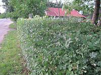 Боярышник обыкновенный (глод). Колючая непроходимая живая изгородь, фото 1