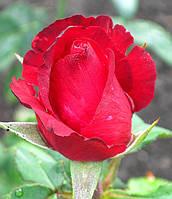Роза Гранд Гала. Чайно-гибридная роза., фото 1