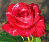 Роза Гранд Гала. Чайно-гибридная роза.