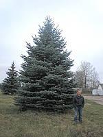 Посадка деревьев. Ель колючая 7+ метров ( (посадочный материал, посадка и гарантия 2 года  включена)