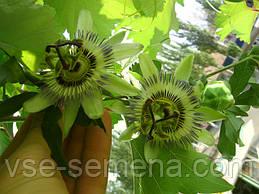 Пассифлора на балконе - из семян фирмы НК