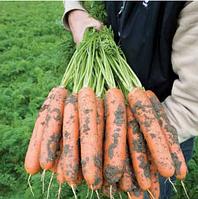 БАЛТИМОР F1 - семена моркови Берликум PR (1,6-1,8 мм), 1 000 000 семян, Bejo Zaden